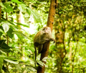 A macaque in the treetops.