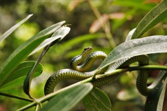 Snake between the leaves.