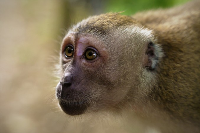 A macaque staring out a rival male. [Published in Asian Geographic Junior]