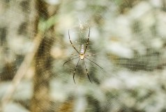 Unidentified spider forms a web between two trees.