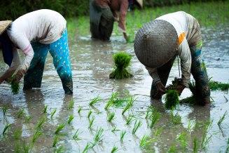 Farming rice in knee deep water.