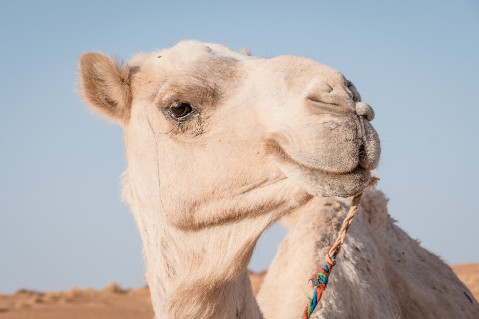 smilingcamel (1 of 1)